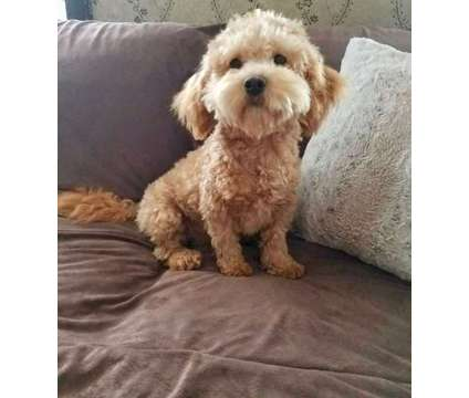 Cockapoo Pups - Hypoallergenic Coats, Great Temperaments is a Male Cockapoo For Sale in Nottingham NH
