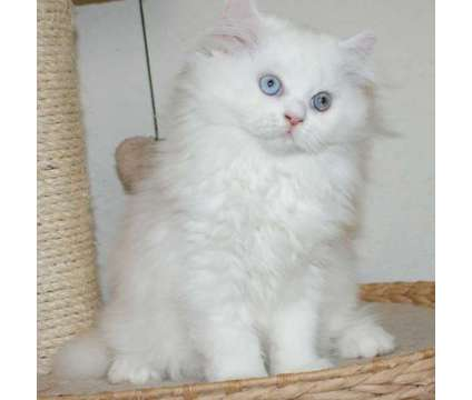 persiancat for sale is a Female Kitten For Sale in Los Angeles CA