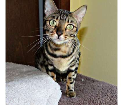 Gorgeous Brown Bengal is a Brown Female Bengal Adult For Sale in Hurricane WV