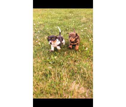 Dachshunds is a Female, Male Dachshund Puppy For Sale in Wildwood Crest NJ