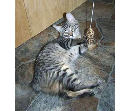 Bayu - American Bobtail Kitten for Sale is a Male American Bobtail Kitten For Sale in Mentone AL