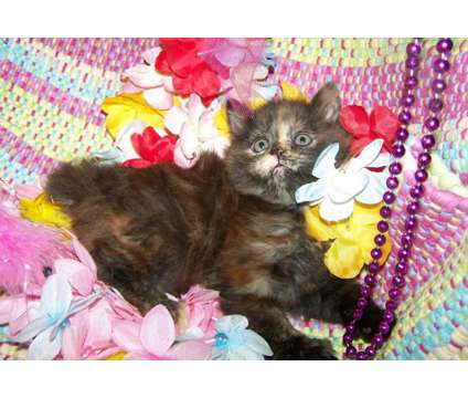 Maezie - American Bobtail kitten for sale is a Female American Bobtail Kitten For Sale in Mentone AL