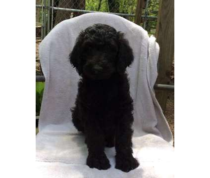 Labradoodle Male is a Male Labradoodle Puppy For Sale in Jeromesville OH