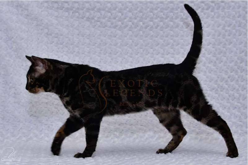 Bengals for Sale in Seattle   Cats on Oodle Classifieds
