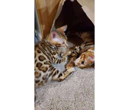 Tica Registered Bengal Kittens - KITTENS ARE HERE is a Bengal Kitten For Sale in Belfair WA