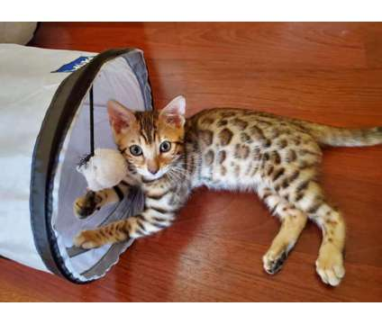 Tica Registered Bengal Kittens - KITTENS ARE HERE is a Female Bengal Kitten For Sale in Belfair WA