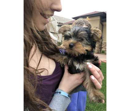 Yorkie Puppy is a Male Yorkshire Terrier Puppy For Sale in Ames IA