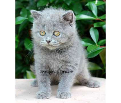 Scottish fold male with straight ears is a Male Scottish Fold Kitten For Sale in Houston TX