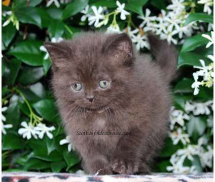 Chocolate Scottish straight female is a Female Kitten For Sale in Houston TX