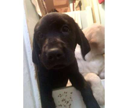 AKC Labrador puppies 8 weeks is a Labrador Retriever Puppy For Sale in San Francisco CA