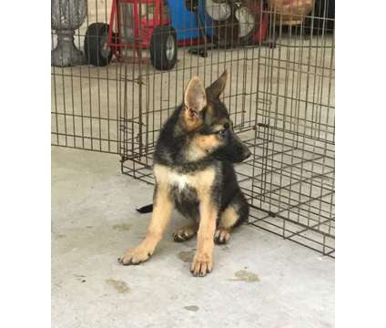 Re-homing AKC German Shepherd Puppies is a Female German Shepherd For Sale in Edinburg TX