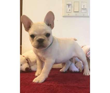 puppy is a Male Bulldog Puppy For Sale in Dade City FL