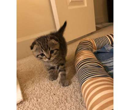 Scottish Fold kittens for sale is a Male Scottish Fold Kitten For Sale in Washington DC