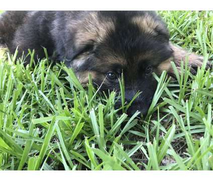 GSD Puppies Excellent lines (Yerom, Chacco, Odin, Yak, Ingodds) is a Male German Shepherd Puppy For Sale in Lakeland FL