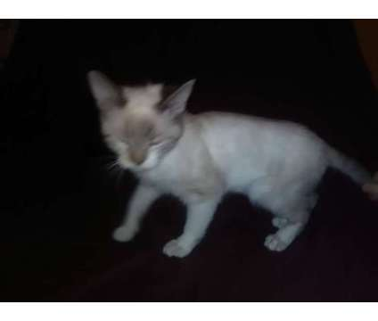 Kittens is a Female Siamese Young For Sale in Indianapolis IN