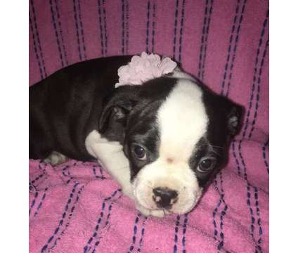 Boston Terrier Puppies is a Female Boston Terrier Puppy For Sale in Shady Hills FL