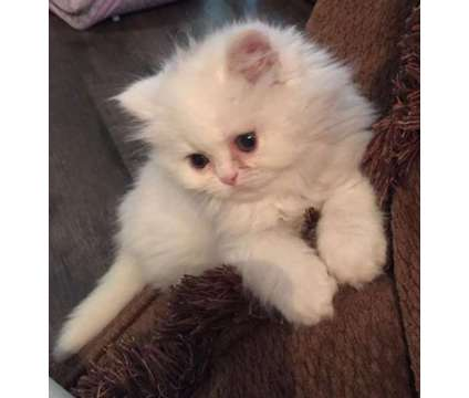 Persian Kitten is a Female Persian Kitten For Sale in Dothan AL