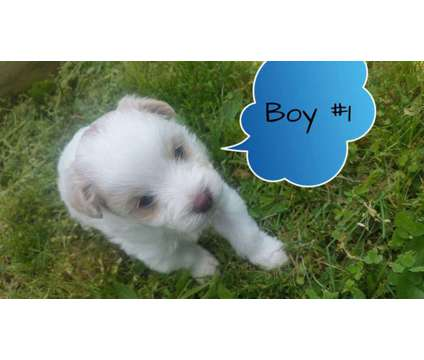 Puppies is a Male Pomapoo Puppy For Sale in Turnersville NJ