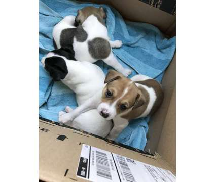 Rat Terrier PUPS is a Female Rat Terrier Puppy For Sale in Lowell MI