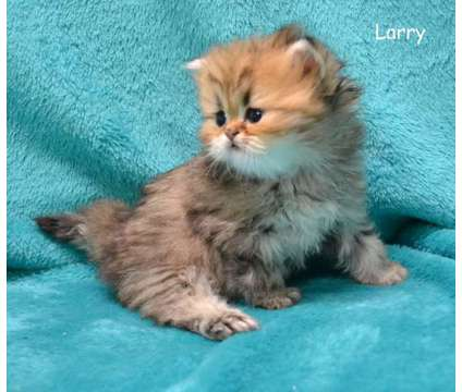 Persian Kittens For Sale is a Male Persian Kitten in Schaumburg IL