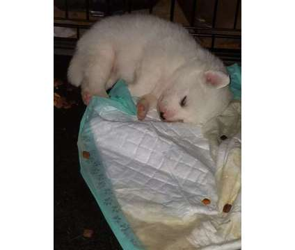 American Eskimo Pups is a Female American Eskimo Dog Puppy For Sale in Brownsville KY