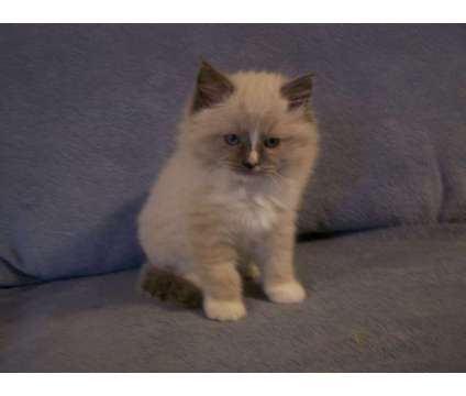Fluffy Ragdoll kittens, blue point bi-color males is a Blue Male Ragdoll Young For Sale in New Holland PA