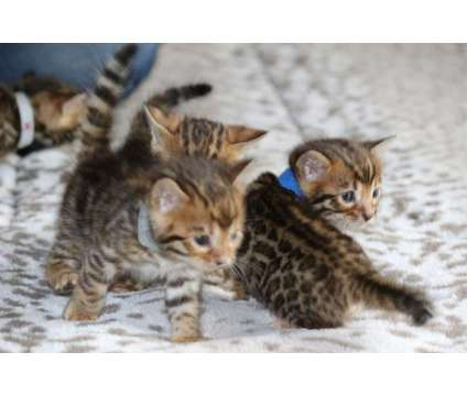 Bengal Kittens - TICA, CFA, TIBCS Registered Cattery - KITTENS BORN 01/26/2019 is a Male Bengal Young For Sale in Belfair WA