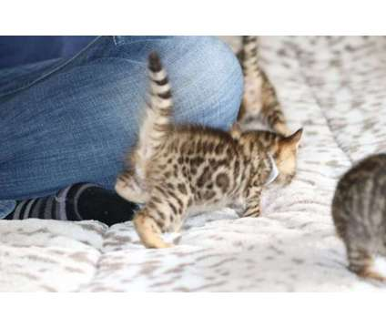 Bengal Kittens - TICA, CFA, TIBCS Registered Cattery KITTENS - AVAILABLE NOW is a Male Bengal Young For Sale in Belfair WA