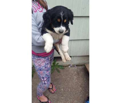 Puppies looking for a loving home is a Border Collie, Collie, Golden Retriever, Labrador Retriever Puppy Wanted in Auburn WA