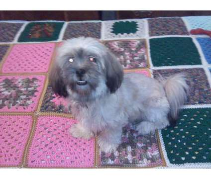 Puppies for June/July is a Lhasa Apso Puppy For Sale in Manchester NH