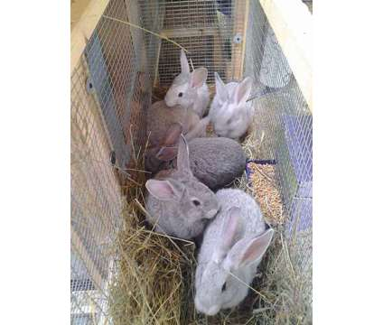 grey flemish babies for sale is a Grey Baby For Sale in Rensselaer Falls NY
