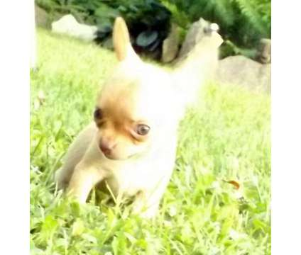 Beautiful akc reg chihuahua pups champion sired is a Female, Male Chihuahua Puppy For Sale in Steubenville OH
