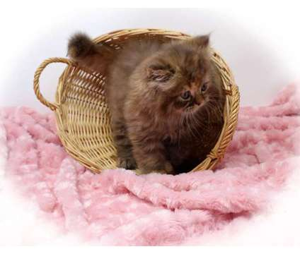 CFA Persian Kittens is a Persian Kitten For Sale in Mill Hall PA