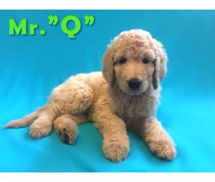 Goldendoodle Puppy for sale (Brooklyn NY) is a Male Goldendoodle Puppy For Sale in Brooklyn NY