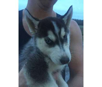 AKC Siberian Husky Puppies for Sale is a Female Siberian Husky Puppy For Sale in Grabill IN
