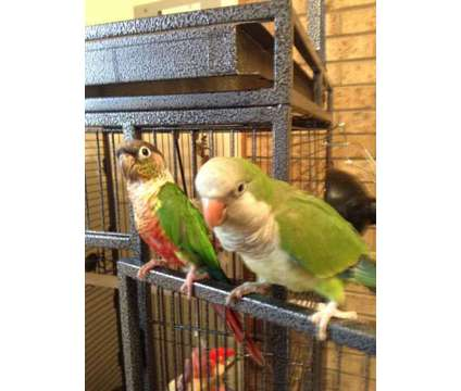 2 parrots for sale is a Male Conure For Sale in Grifton NC
