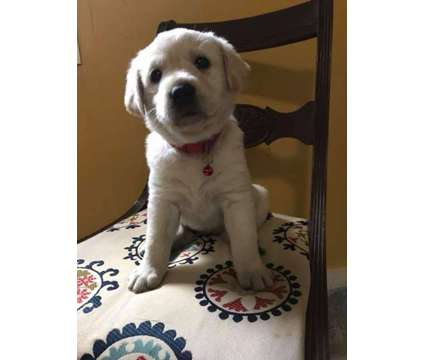 AKC Yellow Lab Puppy's for Sale is a Yellow Female Labrador Retriever Puppy For Sale in Seaside OR