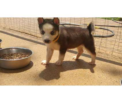 AKC Siberian Husky Puppies is a Siberian Husky Puppy For Sale in Jonesboro AR