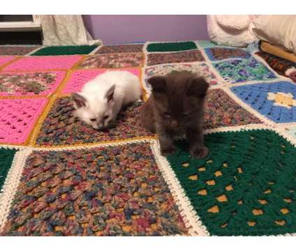 Siamese kittens for June is a Siamese Kitten For Sale in Manchester NH