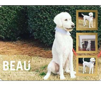 AKC Standard Poodle For Stud is a Male Standard Poodle For Sale in Winder GA