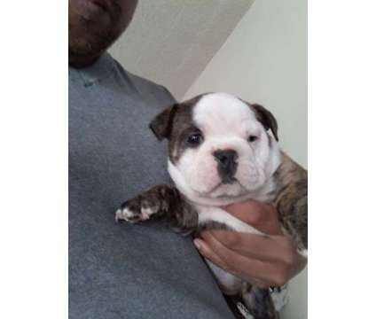 Mini AKC English bulldogs ready now is a Female Bulldog Puppy For Sale in Panorama City CA