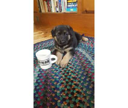 AKC German Shepherd Puppies is a Male German Shepherd Puppy in Fremont NH