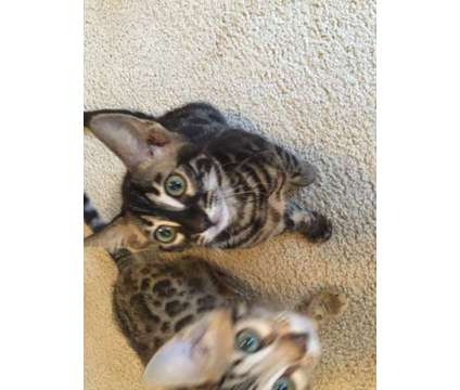 tica reg bengal kittens is a Bengal Kitten For Sale in Kent WA