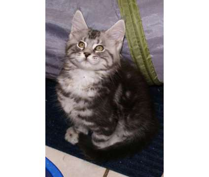 Beautiful Maine Coon Kittens is a Male Maine Coon Kitten For Sale in Brooklyn CT