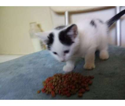 Kittens is a Female, Male Young For Sale in Dayton OH