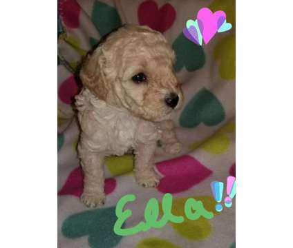 Akc Minature Poodle is a Female Poodle Puppy For Sale in Champaign IL