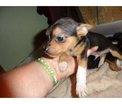 Chorkie Puppies is a Female Chihuahua Puppy For Sale in Missoula MT