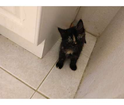 Adorable kittens is a Kitten in Vacaville CA