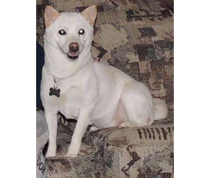 Shiba Inu is a Female Shiba Inu For Sale in Export PA