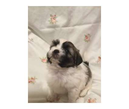 Lhasa Apso's is a Female Lhasa Apso Puppy For Sale in Huddleston VA